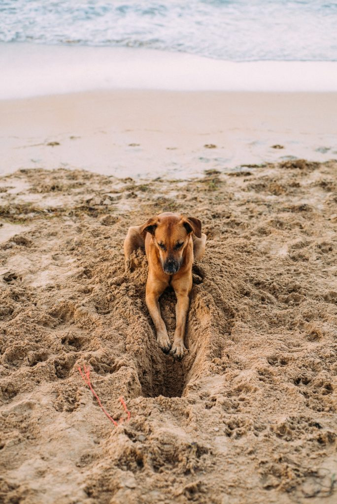hund der har gravet